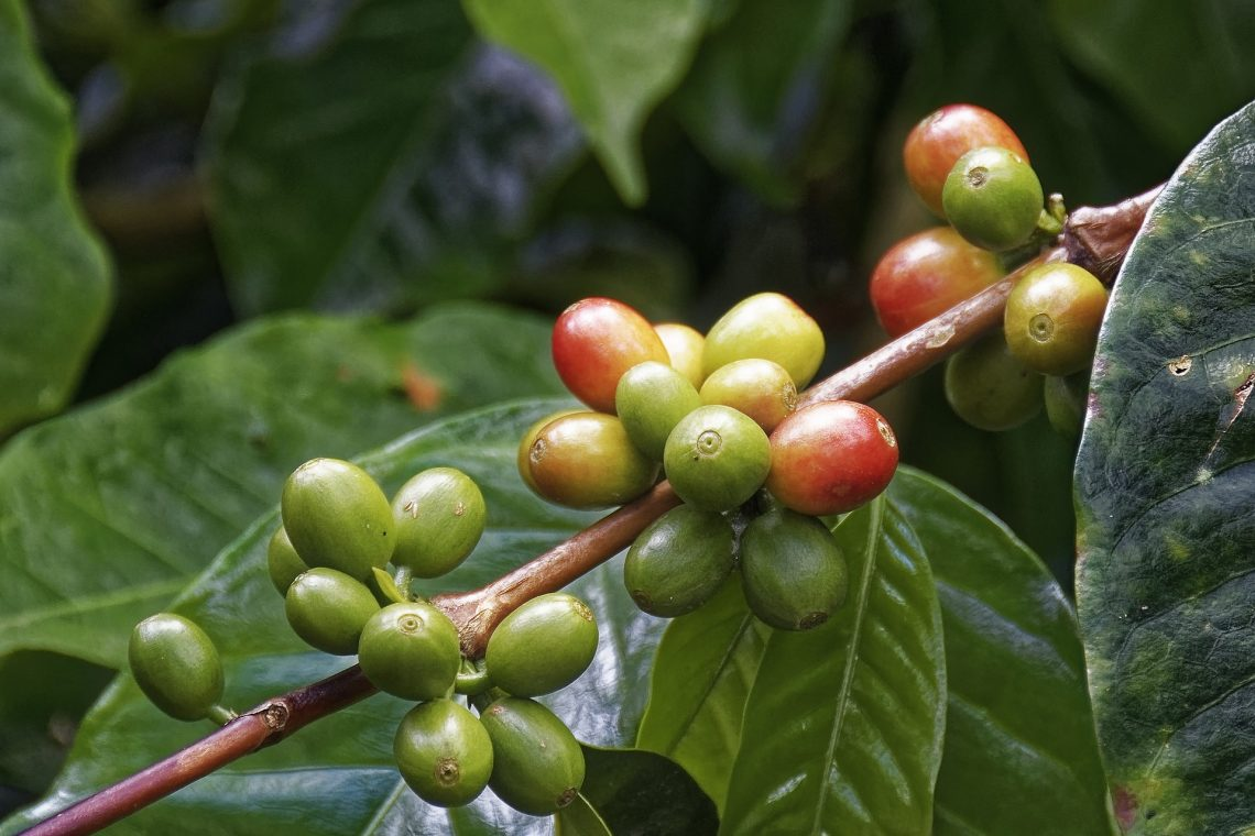 Do coffee beans come from cherries?