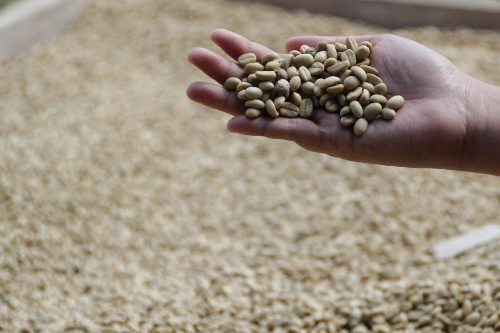 How are coffee beans obtained
